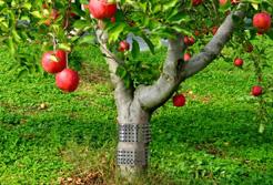 有刺鉄板果樹